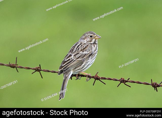Corn bunting (Emberiza calandra / Miliaria calandra) perched on barbwire / barbed wire along meadow / field in spring