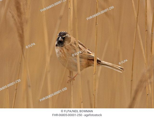 Japanese Reed Bunting Emberiza yessoensis continentalis adult male, moulting into breeding plumage, perched on reed stem, Beidaihe, Hebei, China, may