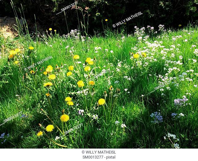 spring flower meadow in May, Bavaria, Germany, Europe