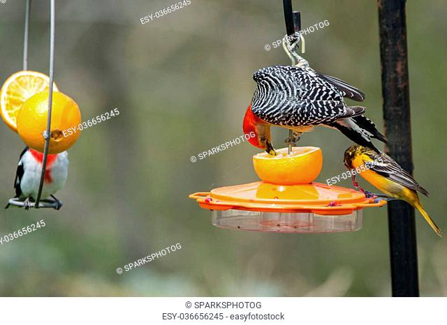 Red-bellied Woodpecker, Baltimore Oriole, and Rose-breasted Grosbeak feeding on oranges and grape jelly at a backyard feeder