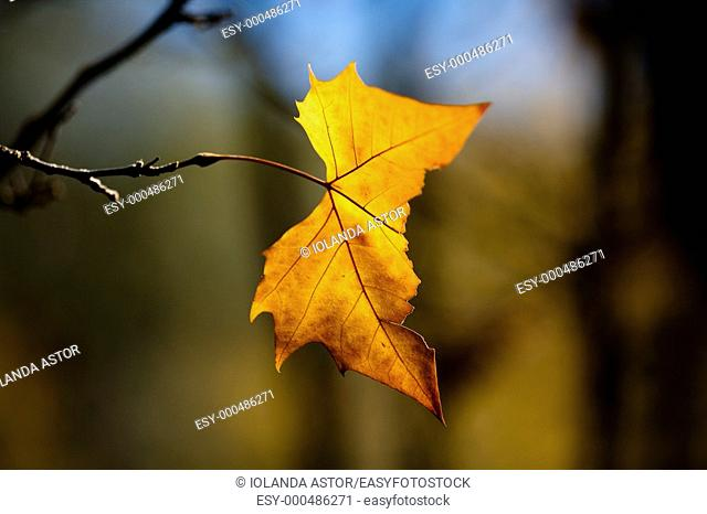 One tree leaf in autumn