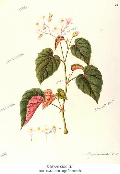 Herbal, 18th-19th century. Iconographia Taurinensis. Volume XLI, Plate 72 by Angela Rossi Bottione: Begoniaceae, Hardy Begonia (Begonia evansiana)