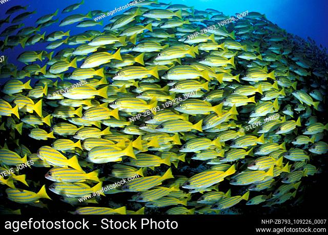 Large school of Blue striped snapper, Lutjanus kasmira  Date: 28/04/2005  Ref: ZB793-109226-0007  COMPULSORY CREDIT: Oceans Image/Photoshot