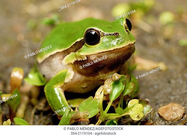Arboreal tree frog (Hyla arborea) in Ciglat, Male Levare area, region of Zahorie, Slovakia