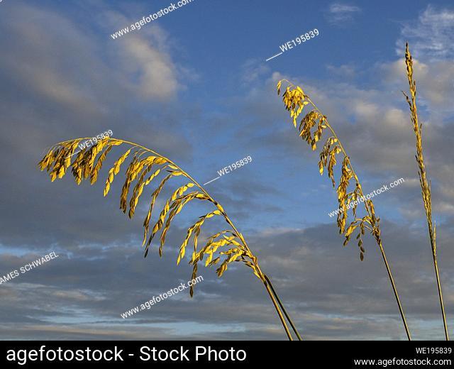 Sea Oats, Uniola paniculata L, on beach aganist a dark blue cloudy sky on Manasota Key Beach in Englewood Florida United States