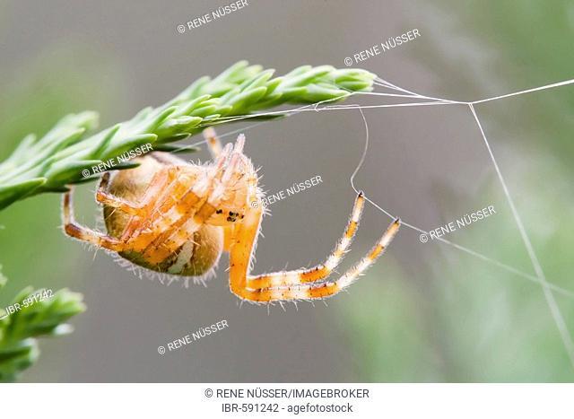 European garden spider (Araneus diadematus) building web at a fir, Brandenburg, Germany, Europe