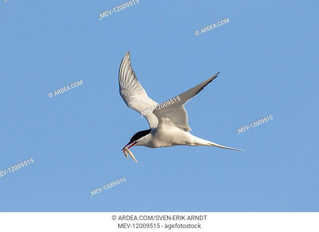 Arctic Tern - adult bird in flight with a fish - Germany