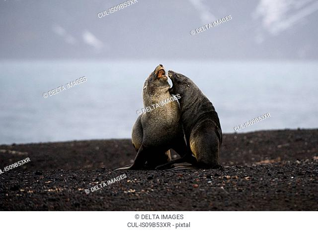 Antarctic fur seals (Arctocephalus gazella), Deception Island, Antarctica