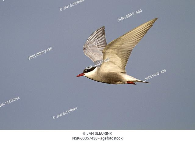Whiskered Tern (Chlidonias hybrida) in flight against a blue sky, Greece, Lesbos, Kalloni