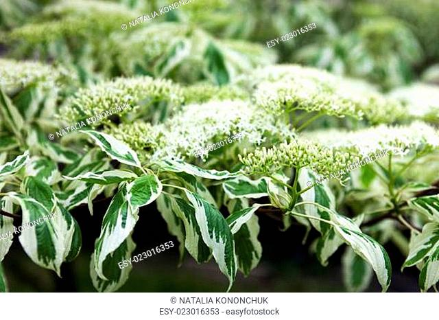 Close up of the dogwood white flowers and leaves