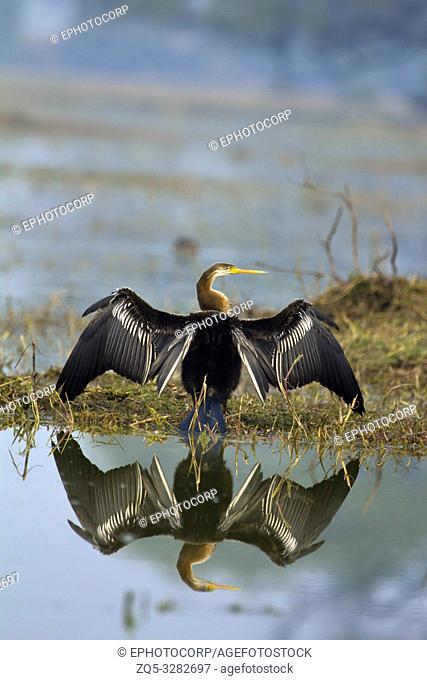 Darter, Snake Bird, Anhingidae, Sun bath, Keoladeo Ghana National Park, Bharatpur, Rajasthan, India