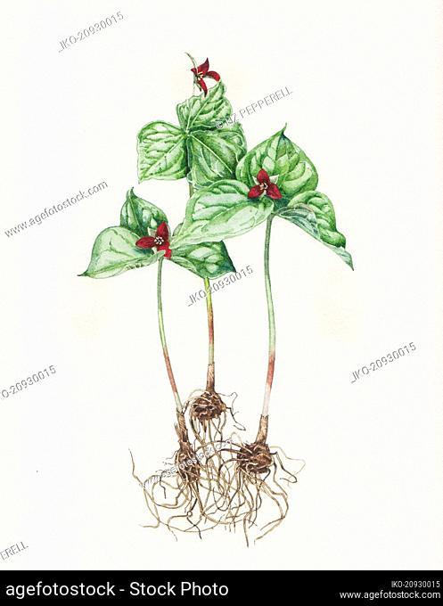 Illustration of Trillium Erectum plant