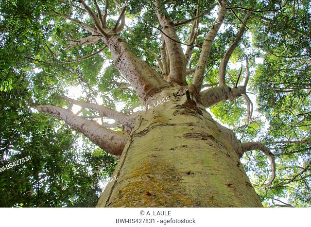 Queensland kauri (Agathis robusta), view into the canopy of leaves, Portugal, Azores, Sao Miguel, Ponta Delgada