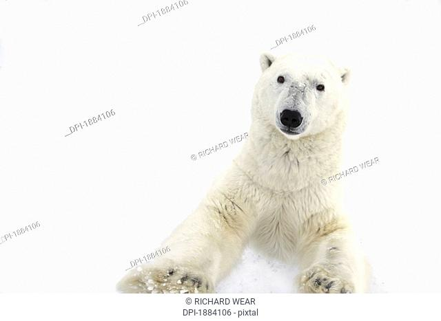 a very curious polar bear ursus maritimus stands on it's hind legs to get a closer look at it's prey, churchill, manitoba, canada
