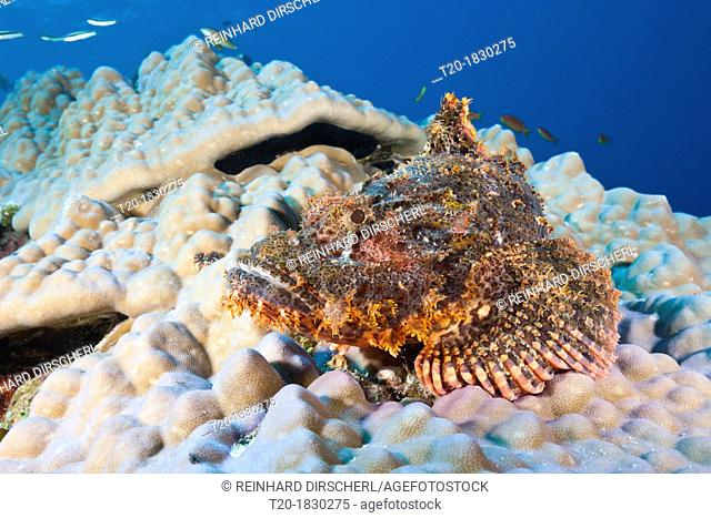 Tassled Scorpionfish, Scorpaenopsis oxycephalus, Felidhu Atoll, Maldives
