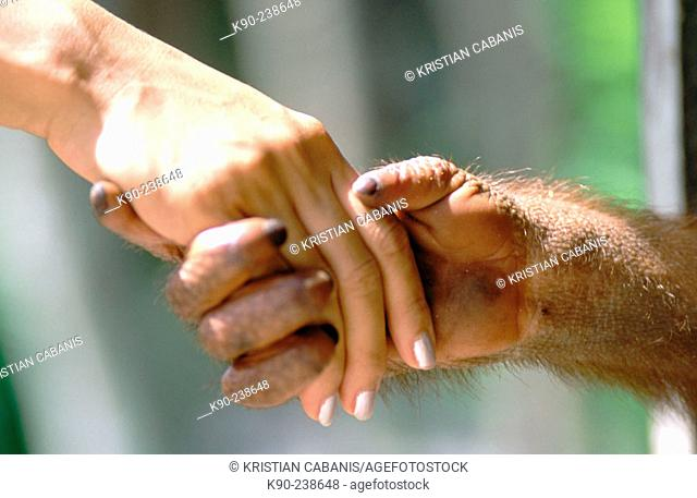 Woman shaking hands with an orangutan in Tanjung Puting National Park. Borneo. Indonesia