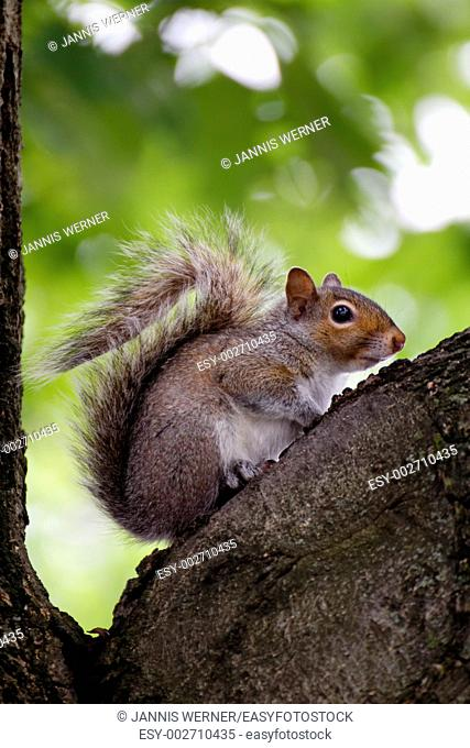 a healthy squirrel sitting on a tree before the blurry background of bright green leaves