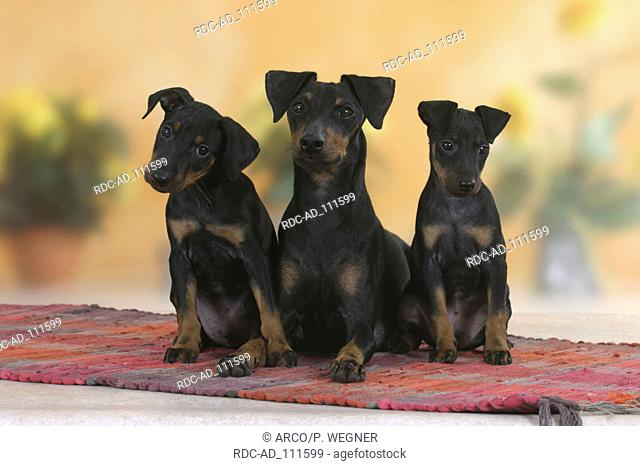 Manchester Terrier with puppies 8 weeks