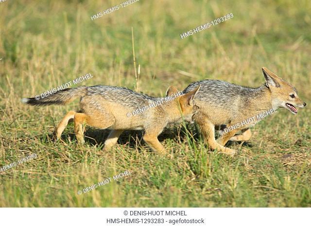 Kenya, Masai Mara national reserve, black-backed jackal (Canis mesomelas), youngs playing
