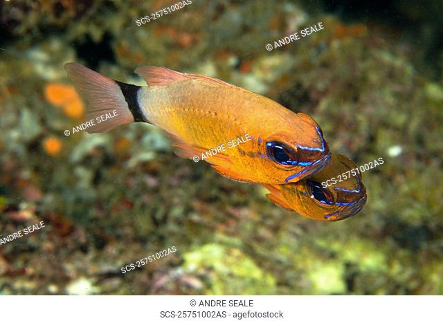 Pair of ringtailed cardinalfish, Apogon aureus, Small La Laguna, Puerto Galera, Mindoro, Philippines