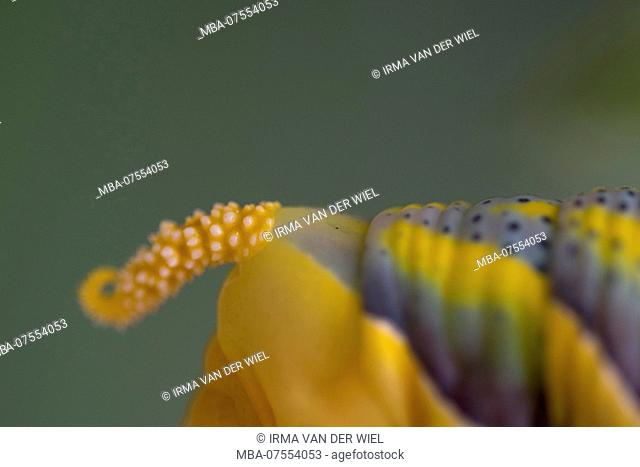 Caterpillar of Death's Head Hawkmoth in the final instar, detail, posterior horn