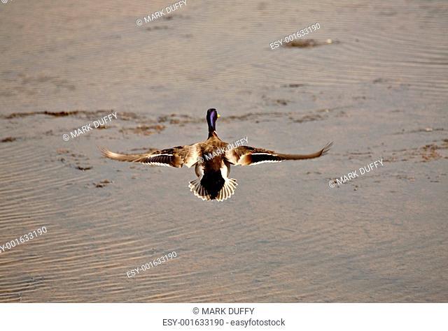 Mallard drake in flight over Saskatchewan pothole