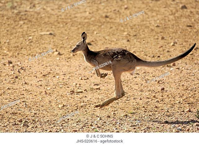 Red Kangaroo, (Macropus rufus), adult female jumping, Sturt Nationalpark, New South Wales, Australia