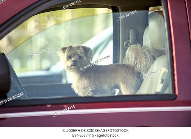 A small Shih Tzu dog standing in the front seat of a car looking out of the window