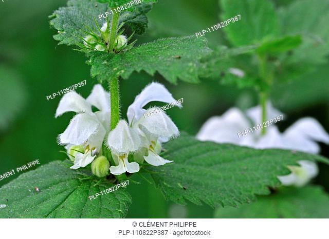 White deadnettle Lamium album in flower, Belgium