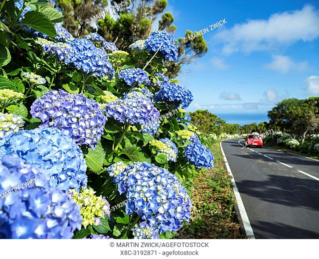 Hedge of Hortensia (Hydrangea macrophylla), an introduced plant, at roadside. Pico Island, an island in the Azores (Ilhas dos Acores) in the Atlantic ocean