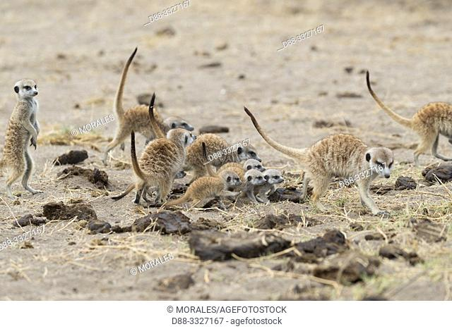 Afrique, Afrique australe, Bostwana, Parc National de Nxai, Suricate (Suricata suricatta), adultes et jeunes /Africa, Southern Africa, Bostwana