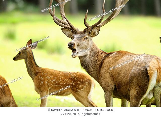 Close-up of a red deer (Cervus elaphus) male with a calf