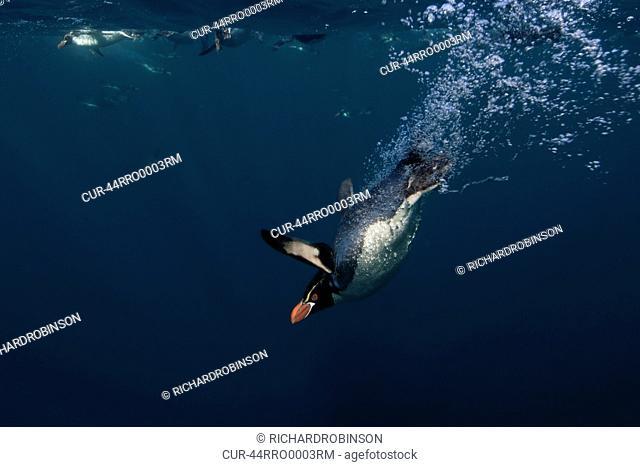 Snares Crested Penguin Eudyptes robustus