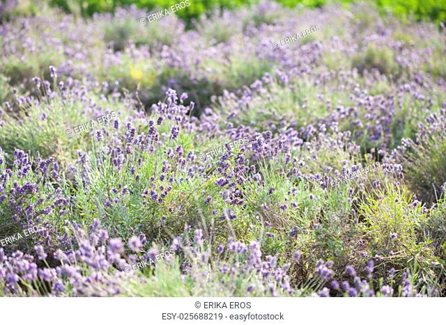 Blooming lavender field in the summer