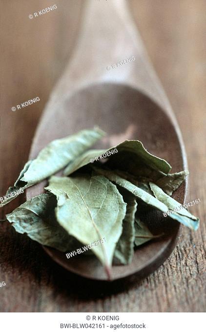 curry leaf plant Murraya koenigii, selection on spoon