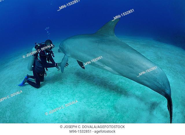 Scuba diving dolphin trainer with his atlantic bottlenose dolphin, Roatan, Bay Islands, Honduras