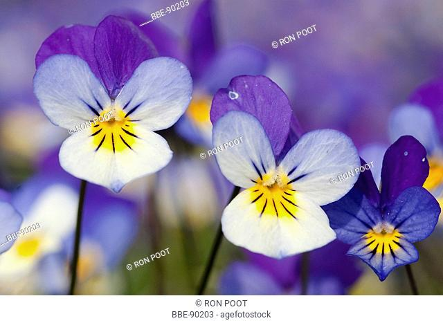 Two flowers of Pansy violet, close-up