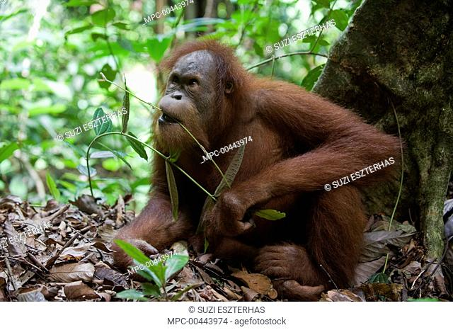 Sumatran Orangutan (Pongo abelii) sub-adult male eating leaves, Gunung Leuser National Park, north Sumatra, Indonesia