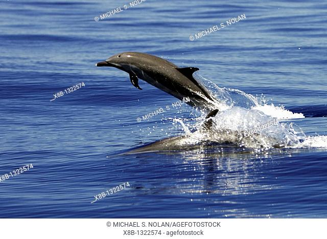 Adult Pantropical Spotted Dolphin Stenella attenuata leaping in the AuAu Channel between the islands of Maui and Lanai, Hawaii, USA  Pacific Ocean