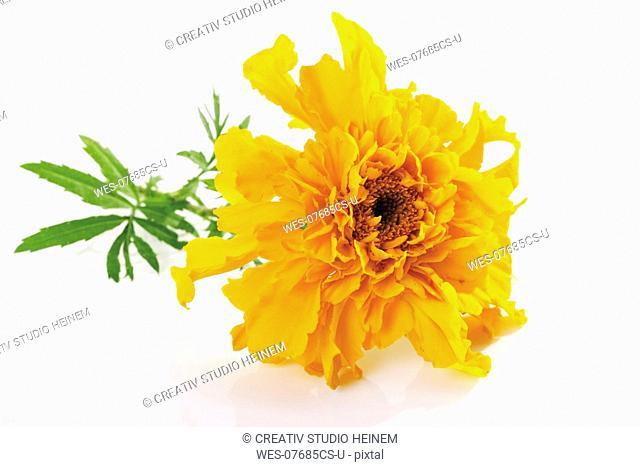 Yellow blossom of marigold Tagetes, close-up