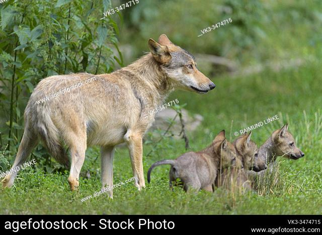 Wolf, Canis lupus, adult with cubs
