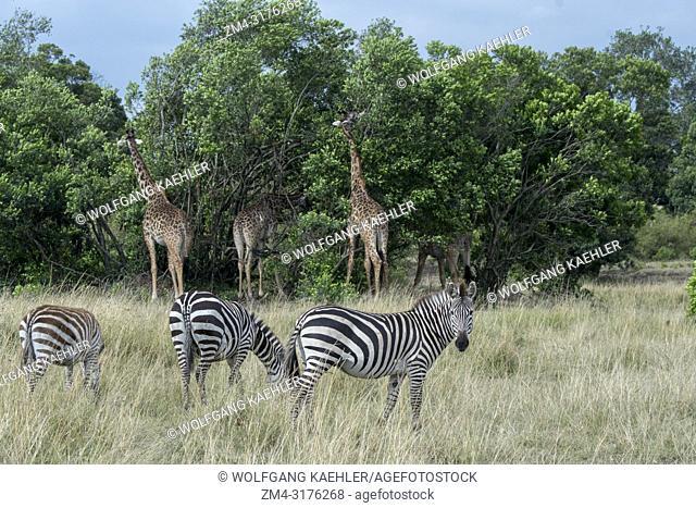 Masai giraffes (Giraffa camelopardalis tippelskirchi) and Plains zebras (Equus quagga, formerly Equus burchellii) also known as the common zebra or Burchell's...