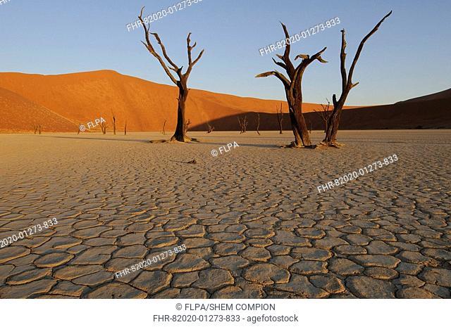 Dead Camelthorn Acacia Acacia erioloba trees on dry clay pan, Dead Vlei, Namib Desert, Namib-Naukluft N P , Namibia