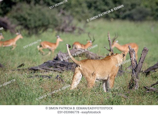 Lion walking in front of a herd of Impala in the Chobe National Park, Botswana