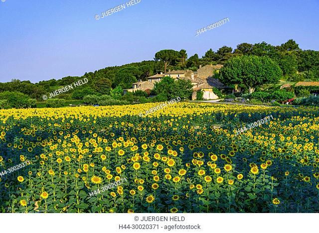 France, Alpes-de-Haute-Provence, Luberon, Lourmarin, Provence, Vaucluse, Medieval, Sunflowers