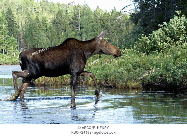 Moose female crossing a lake, Alces alces, La Mauricie national park, Quebec, Canada