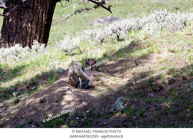 Coyote (Canis latrans), adult at den site with young pups during spring Yellowstone National Park Wyoming