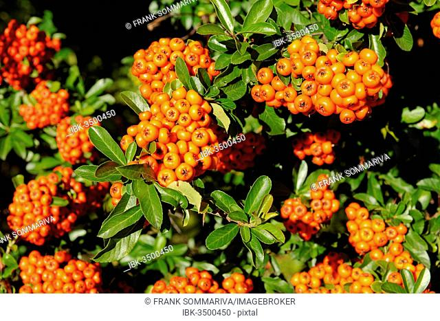 Firethorn or Pyracantha (Pyracantha sp.), berries growing on the shrub, ornamental plant, Thuringia, Germany