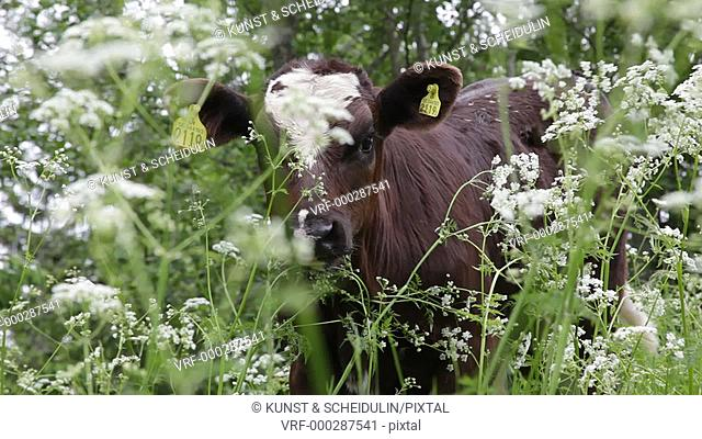 A calf is peering through white flowers on a meadow. Kramfors, Västernorrlands Län, Sweden