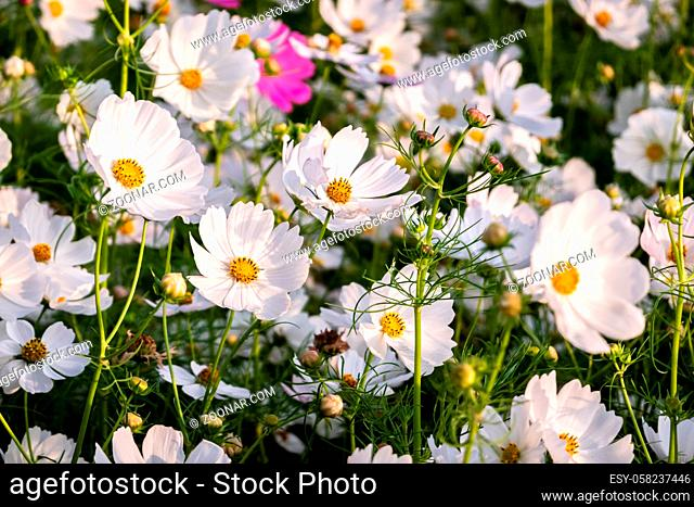 white cosmos flowers farm in the outdoor